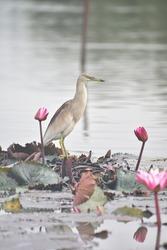 A pond Heron in a Lotus pond in Sri Lanka