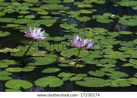 a pond with pink water lilies