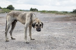 a poor and skinny street dog standing on the road