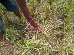 A poor child in Bangladesh is picking up sheaves of paddy lying in a field that he will keep for himself.