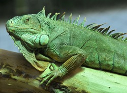 A popular pet, the green iguana resting in a tree, with characteristic colour and dewlap
