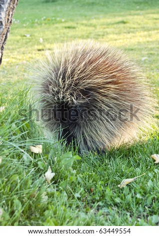 A porcupine in the morning light.