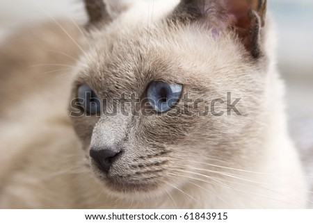 A portrait close up of a beautiful bluepoint siamese cat\'s face as she loooks slightly to the side.