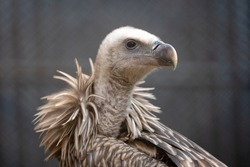 A portrait head shot of an endangered Himalayan Griffon vulture in captivity in a zoo.