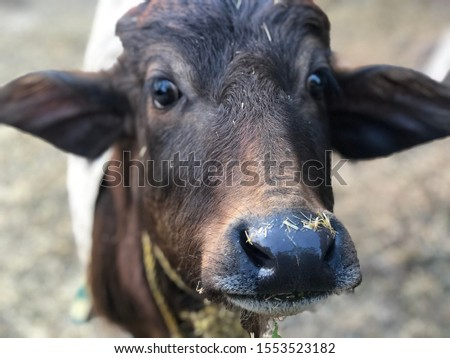 A portrait mode picture of a baby buffalo in India