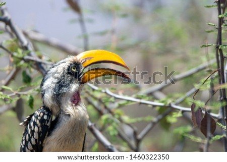 A portrait of a beautiful wild yellow billed hornbill sitting on a branch in Samburu/Kenya/Africa during safari trip. Birds and moment concept.