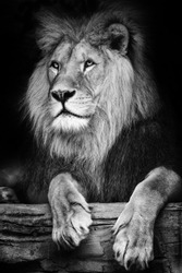 A portrait of a Berber lion who is lying on an elevated site.