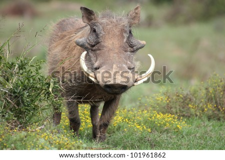 A portrait of a big male warthog with large tusks in Addo elephant national park,eastern cape,south africa