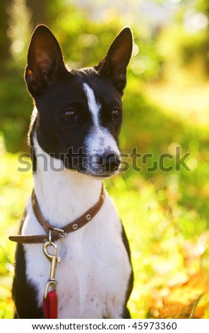 Opis: Basenji Stock-photo-a-portrait-of-a-black-and-white-basenji-on-nature-45973360
