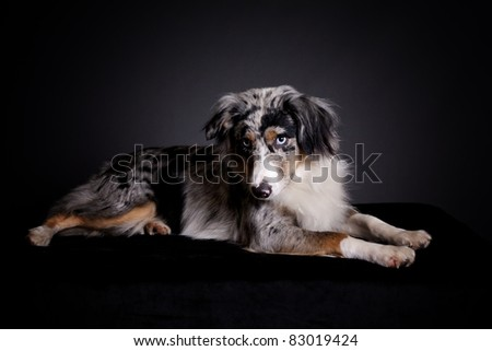 A portrait of a blue merle Australian shepherd dog with merl markings and color. - stock photo