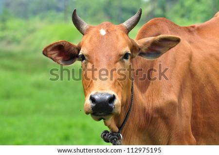 A Portrait of a Brown Cow