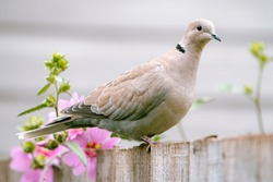 A portrait of a collared dove on a wooden garden fence.