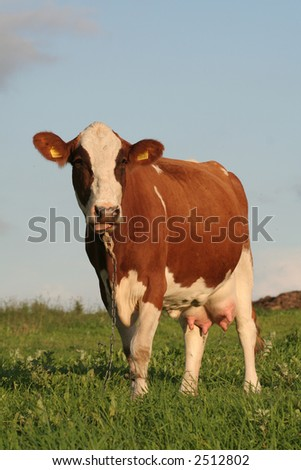 A portrait of a cow in a field