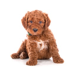 A portrait of a cute doodle puppy, isolated on white background