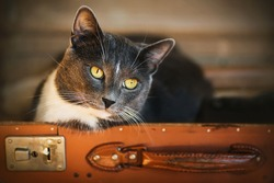 A portrait of a cute grey house cat with yellow eyes sitting in a vintage brown suitcase. A pet.