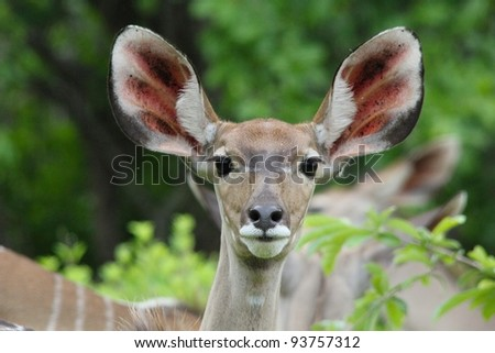 A portrait of a Greater Kudu (Tragelaphus strepsiceros) found in Ruaha National Park, Tanzania