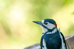 A portrait of a head of a great spotted woodpecker. Green bokeh.