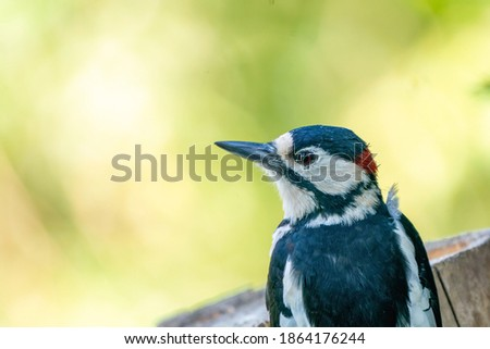 A portrait of a head of a great spotted woodpecker. Green bokeh. stock photo