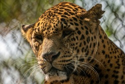 A portrait of a leopard in captivity in a zoo.