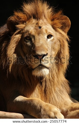 A portrait of a lion king with black background