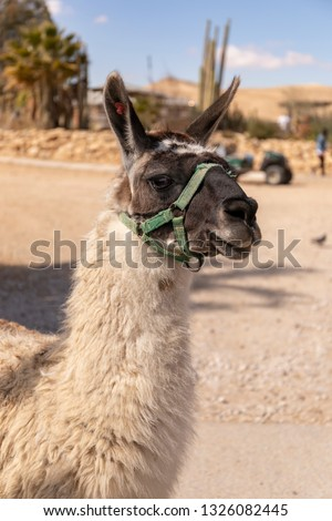 A portrait of a llama, photographed in a llama and alpaca farm in the Negev desert in Israel #1326082445