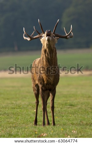 A portrait of a male stag (buck) red deer roaring as part of the autumn rutting season, trying to attract a female doe (hind) deer