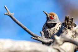 A portrait of a northern flicker perched on a broken limb in the direct morning sun
