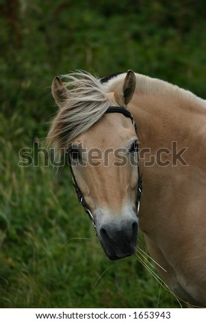 A portrait of a norwegian fjord horse in the dunes by the sea.