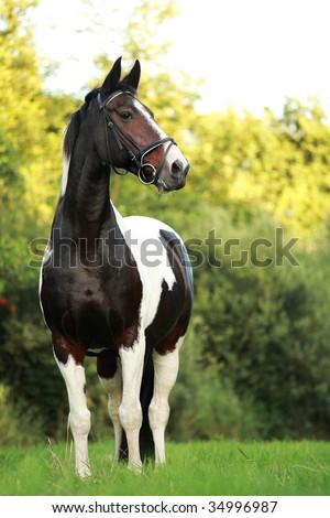 A portrait of a piebald Dutch warmblood mare. - stock photo