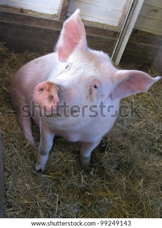 A portrait of a pig in a stable