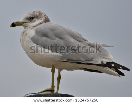 a portrait of a ring billed gull