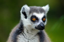 A portrait of a Ring tailed lemur
