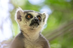 A portrait of a ring-tailed lemur on a tree