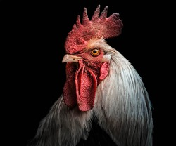 A portrait of a rooster,
