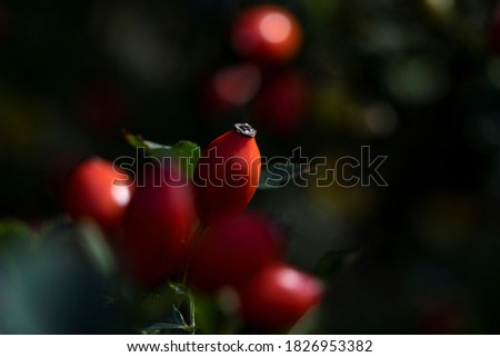 A portrait of a rose haw or hep berry surrounded by others of its kind which are blurred out. The rose hip can be used to make a healthy cup of tea. Stock photo ©