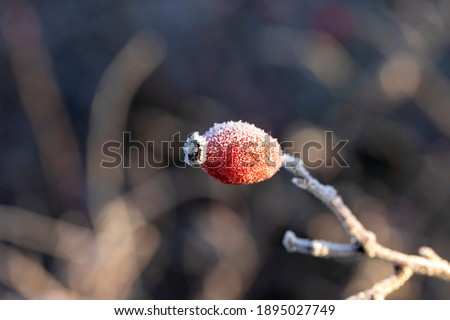 A portrait of a rose hip, haw or hep covered in ice during a winter day. The frost on the fruit looks like sugar and the subject is lit by a golden hour sun. Stock photo ©