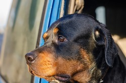 A portrait of a Rottweiler looking out the open window of a blue car. Close-up of the head of a female Rottweiler with a pensive sad look.