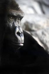 A portrait of a sad gorilla over dark background