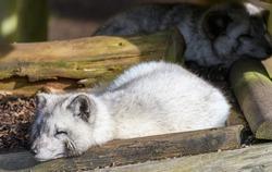 A portrait of a sleeping Arctic Fox