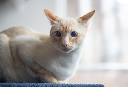 A portrait of a white adult Siamese cat. A cat with blue eyes sitting at home. Animal adoption. Stock photography.