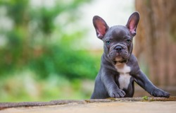 a portrait of a young french bulldog