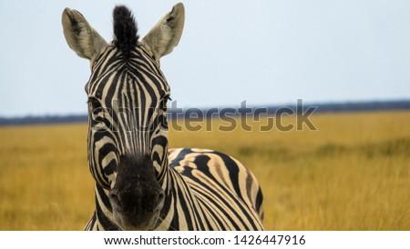 A portrait of a zebra in the Masai Mara National Park #1426447916