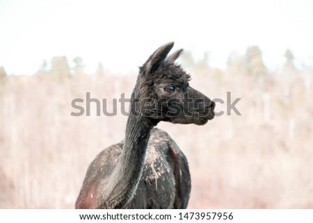 A portrait of an adorable alpaca.  #1473957956