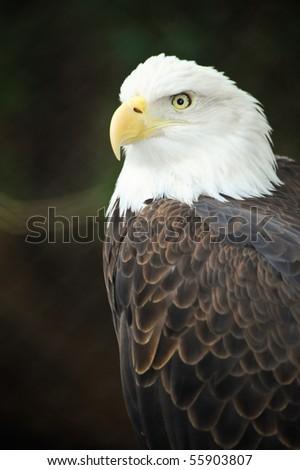 A portrait of an American bald eagle