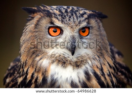 A portrait of an eagle owl