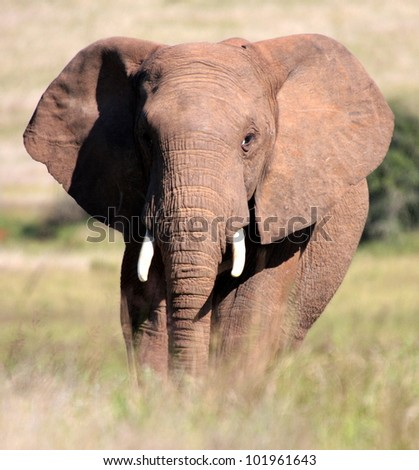 A portrait of an elephant bull walking towards the camera in Addo elephant national park,eastern cape,south africa