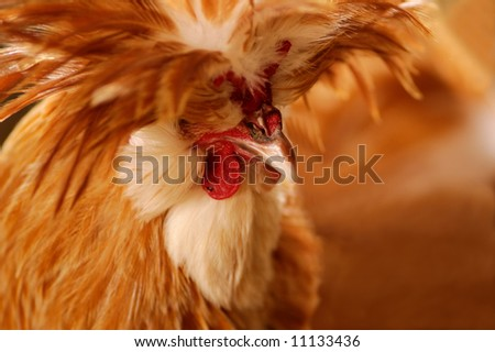 A portrait of an exotic breed rooster.