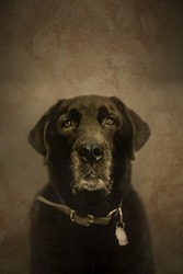 A portrait of an old labrador retriever processed to look like an old tintype.