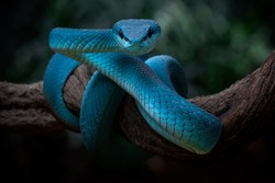 A Portrait of blue red eyes viper is in standby position
