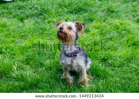 A portrait of cute silky terrier dog in a green grass field #1449213434